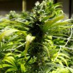 加州大麻新規 禁品嘗試用
