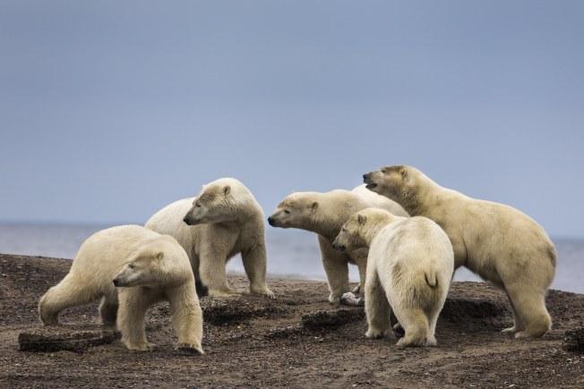 找不到海冰棲息,導致北極熊不得不在陸地上耗費更長的時間。(歐新社 )