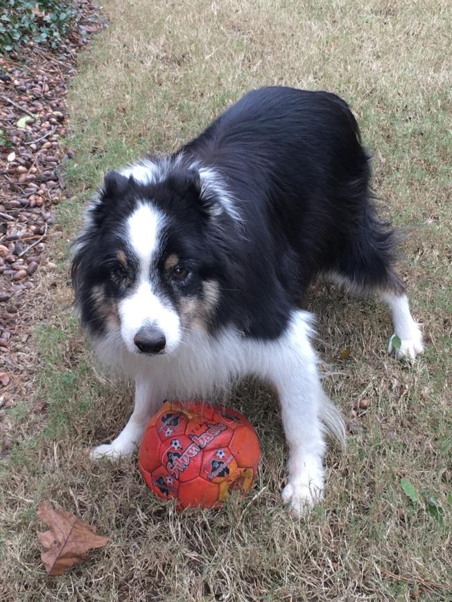 我家的邊境牧羊犬Rocky。