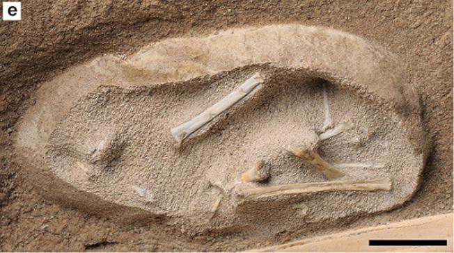 中國新疆戈壁發現上億年的3D翼龍胚胎化石。(取材自澎湃新聞)