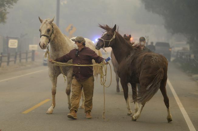 加州拉肯亞達弗林楚奇一名男子撤離馬匹。(美聯社)