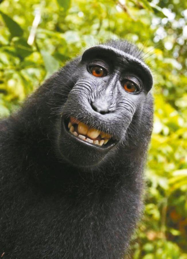 印尼一隻名叫納魯托(Naruto)的獼猴多年前因露齒自拍照一舉成名,美國法官甚至裁定,印尼黑冠猴「銘人」(Naruto)不能擁有牠偷用別人照相機拍攝的自拍照版權。圖取自網路