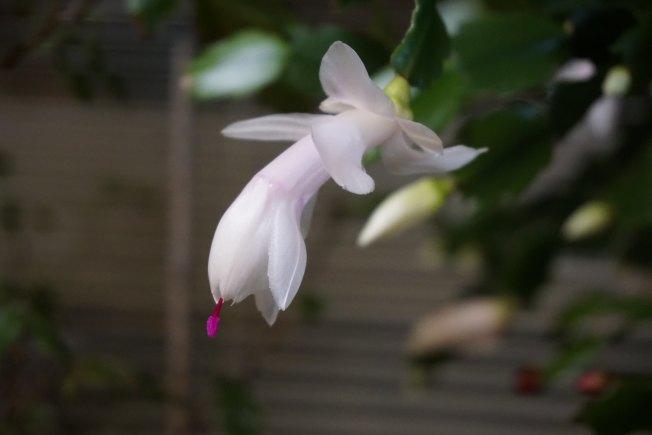 含苞待放的白色感恩仙人掌。