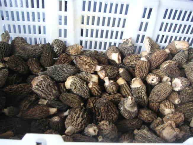月下旬至5月底是搜集羊肚菌的最佳时节。