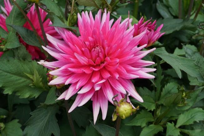 可與牡丹媲美的粉色大麗花。