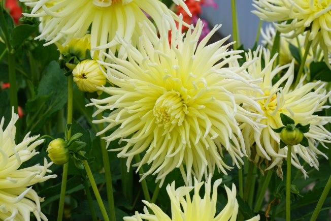 這種黃色大麗花如菊花般清淡高雅,現在比較少見。