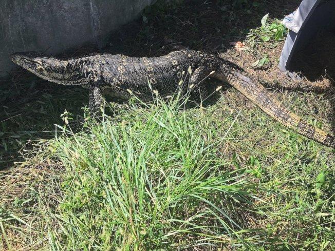 佛州鱼类和野生动物保护委员会(FWC)表示,已成功捕获这只从饲主家逃跑近半年的巨蜥。取自商业内幕网站