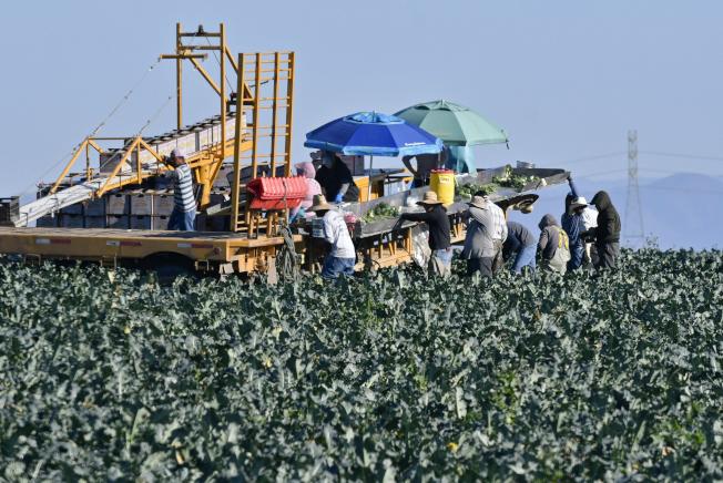 CDC说,已确定萝蔓生菜染菌的来源之一,是加州圣塔芭芭拉的亚当兄弟农场。图为该农场工人正在采收绿花菜。 (美联社)