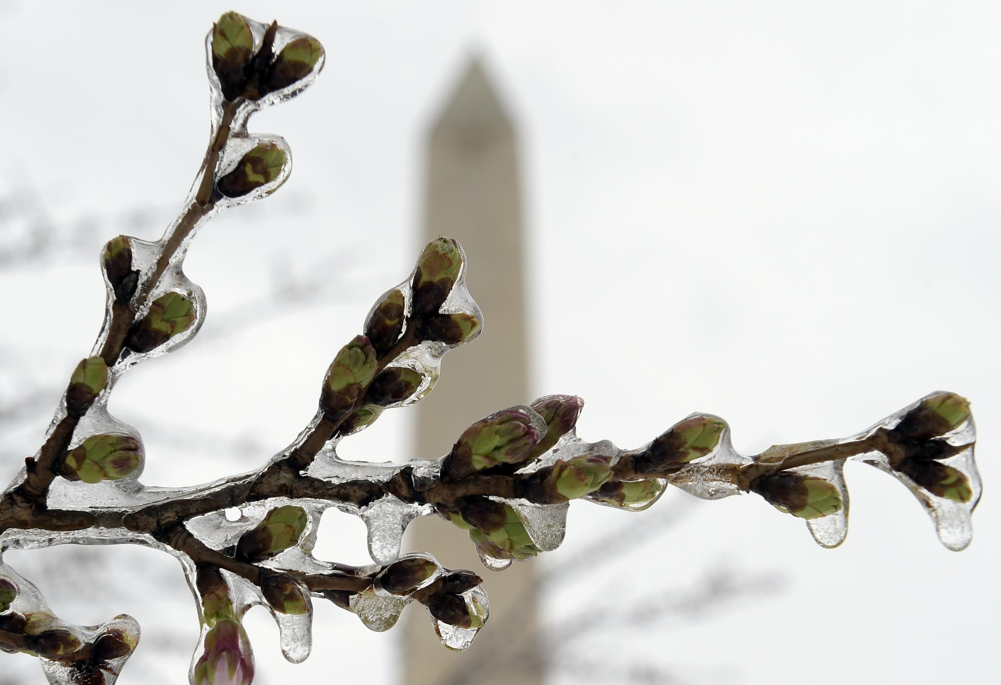 華盛頓特區的櫻花今年比往年早開花,但含苞待放的花蕾,風雪終結成冰。(美聯社)