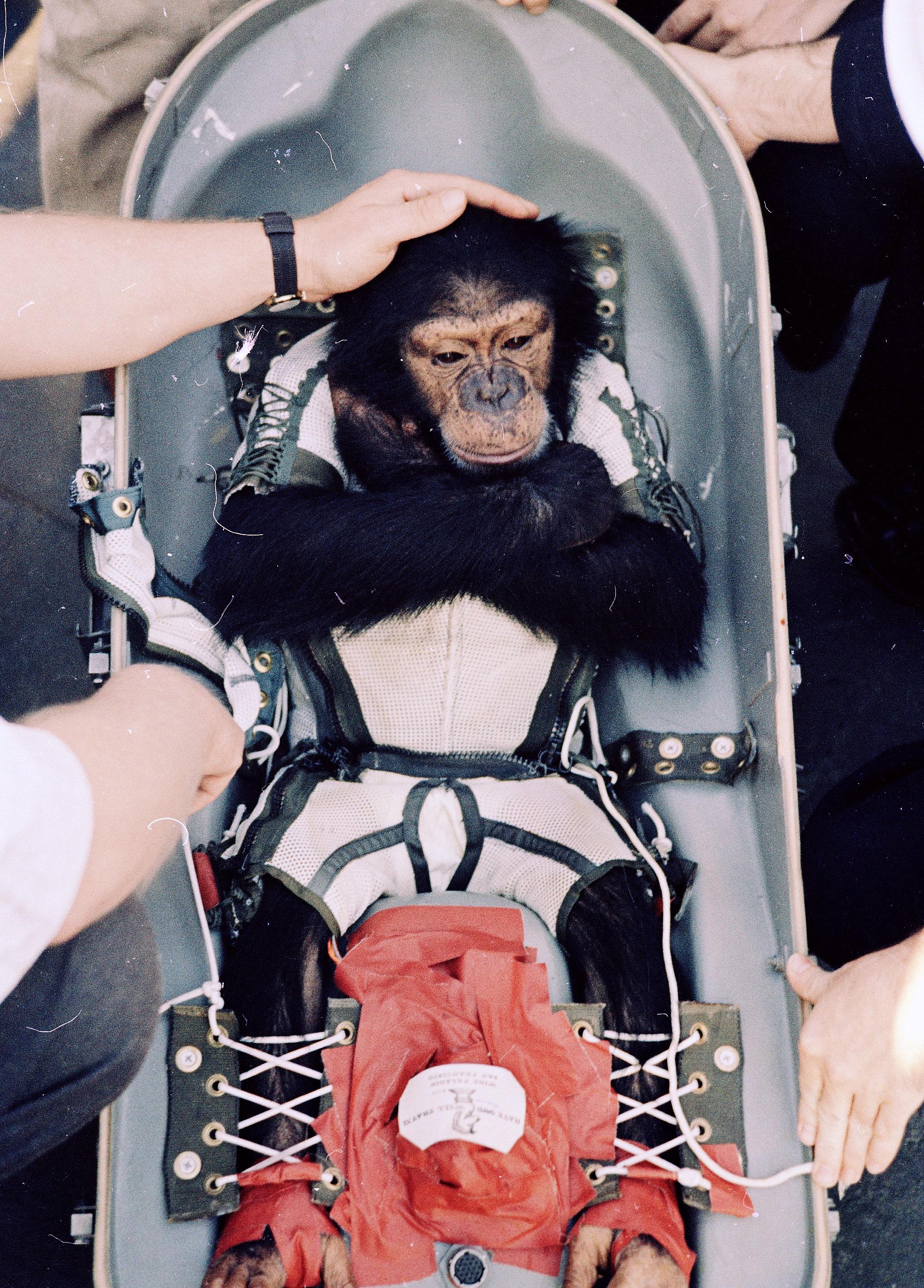 「水星計畫」中, 1961 年 1 月31日 由英勇的黑猩猩「火腿」Ham 試乘太空船,並成功從太 空返回地球。(美聯社)