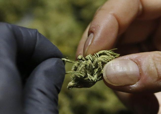 這是晒乾的大麻。(美聯社)