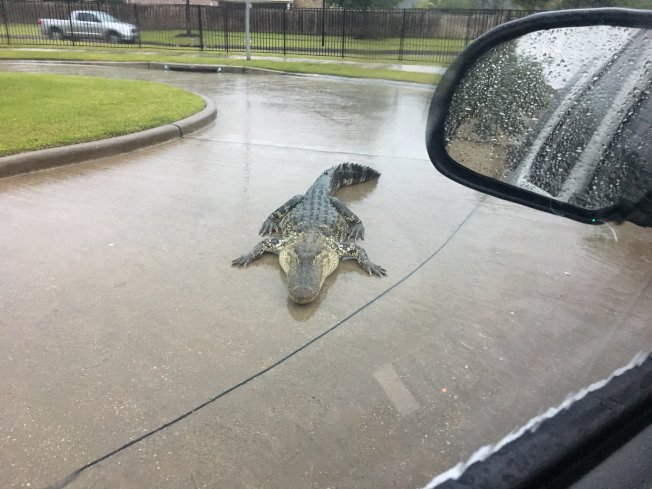 十呎大鱷造訪福遍縣居民區。(取材自Chad Norvell推特)