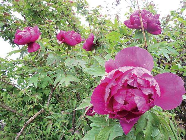 牡丹是中國著名花卉之一,向來有「花王」之稱。(記者王又春/攝影)