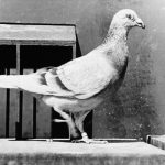 1943年5月13日飛鴿傳書 飛越40年