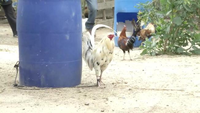洛杉磯縣警方在聖塔克拉利塔谷鬥雞場發現的公雞。(洛杉磯縣警局)