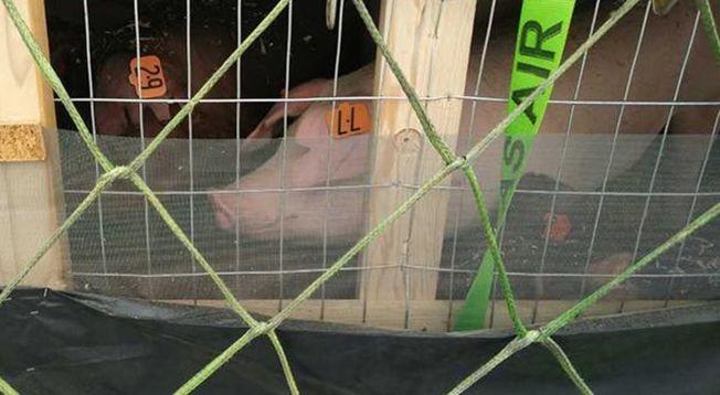 引進湖南的美國種豬。 (取材自紅網)