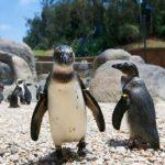 聖地牙哥動物園 非洲企鵝新亮點