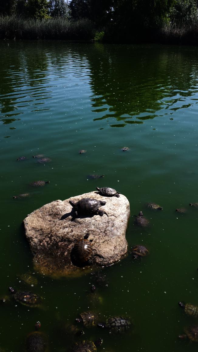 烏龜成群。