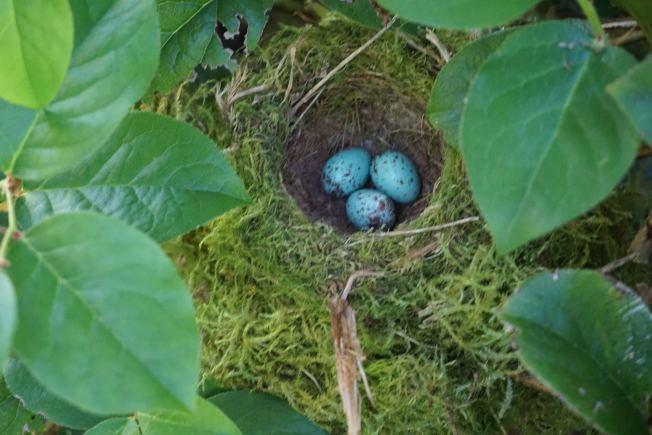 鳥巢裡有三枚帶棕色斑點的淺藍色卵。