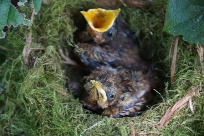 兩隻鳥兒的羽翼已近豐滿,但鳥巢裡突然少了一隻鳥。