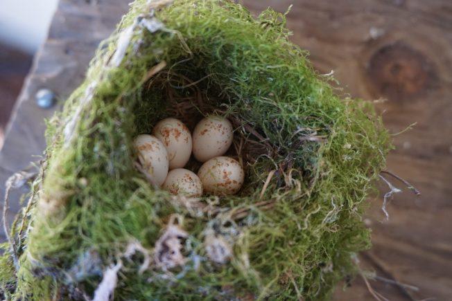 房檐下的鳥巢裡有五個淺黃色帶斑點的卵。