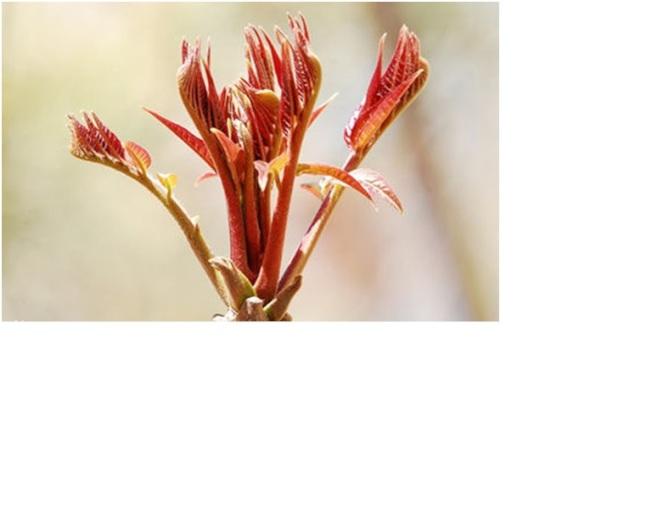 香椿芽是好東西。(取材自百度)