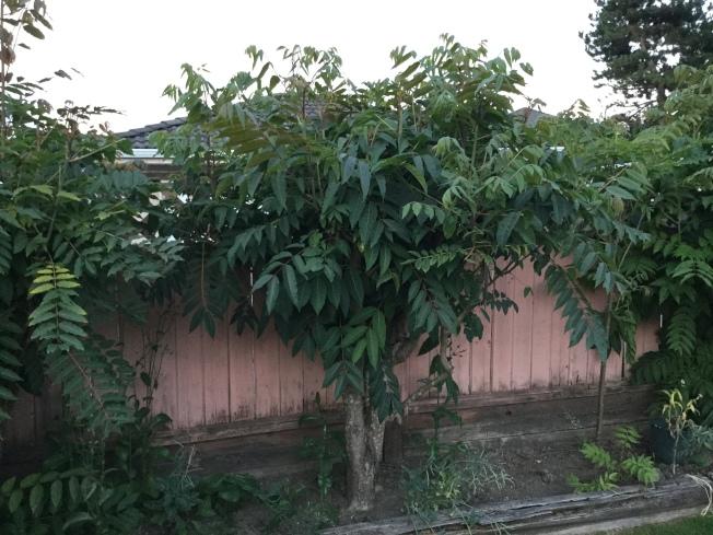 枝葉繁茂的香椿樹,爬在圍牆上頭。(圖:許業武提供)