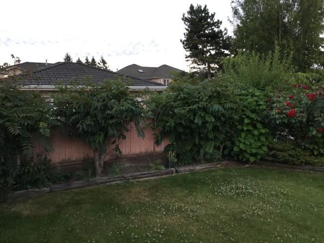 我家的香椿樹倚牆栽種。(圖:許業武提供)