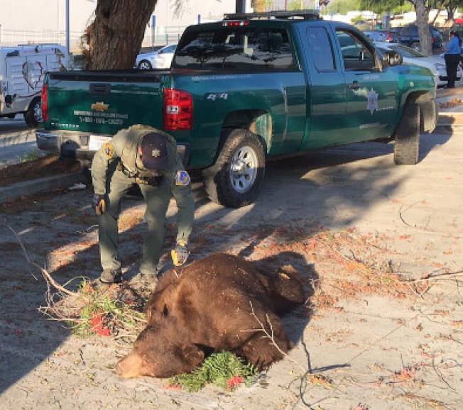 一頭棕熊10日清晨造訪波莫那,被加州漁獵局麻醉後送回森林。(加州漁獵局提供)