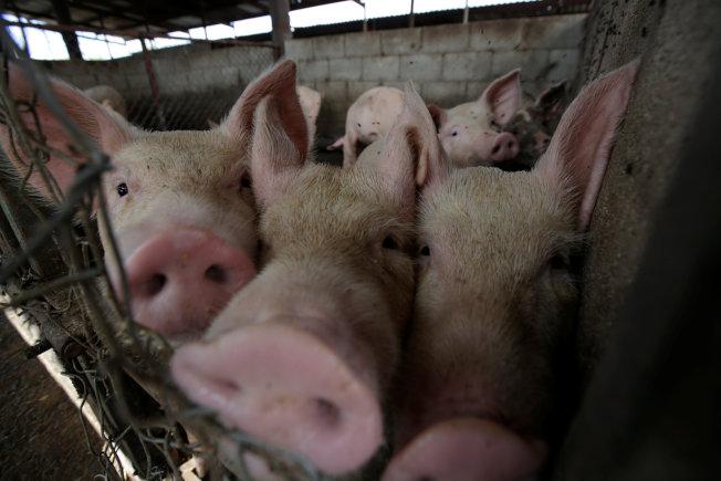 墨西哥的一間養豬場。(路透)
