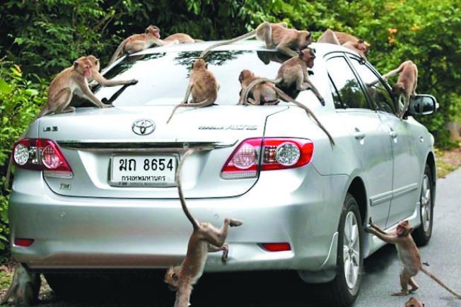 泰國海軍基地遭猴子大軍入侵。(取材自曼谷郵報)
