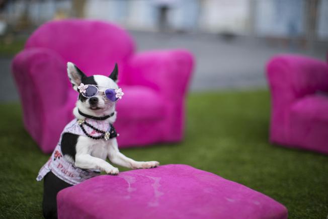 在曼哈頓下城區「布魯菲德廣場」(Brookfield Place)舉行的「dOGUMENTA」全美首個犬隻藝術展。圖為一隻參觀展覽的吉娃娃在作品「秘密會議」(The Conclave)旁拍照。(美聯社)