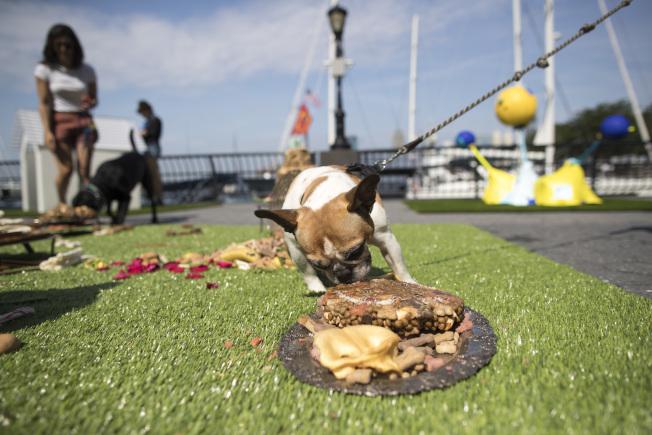 法國牛頭犬哈德森(Hudson)在享用「犬與國王的甜點」(Confections of Canines and Kings)作品中的食物。(美聯社)