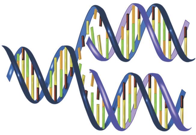 複製DNA時,新合成的DNA和原版DNA有完全相同的序列。利用PCR反應,可以把證物DNA的量增多千百萬倍。(圖片摘自FBI網頁)