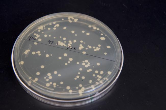 紐約大學科學家嘗試從酵母著手,培養完全人造的DNA。(美聯社)