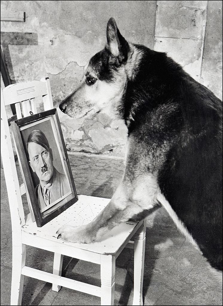 希特勒的愛犬望著主人希特勒的照片。(Getty Images)