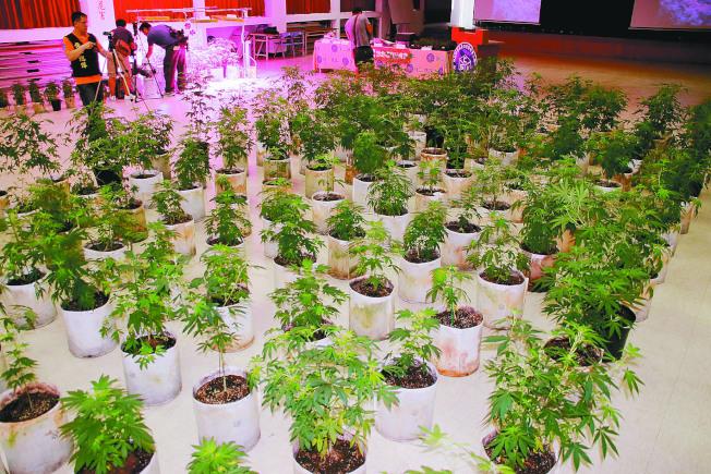 大麻種植業可能在不久將來進駐蒙地貝婁市。(本報檔案照)