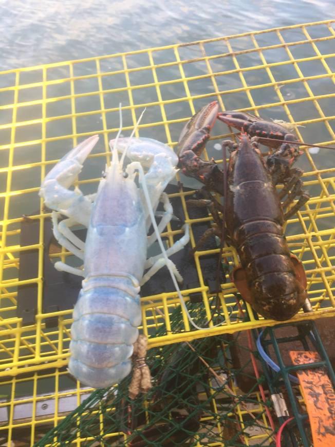 緬因海港漁民協會上月還秀出了一億分之一機率才能捕獲到的白色龍蝦。(取自緬因海港漁民協會臉書)