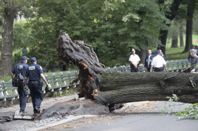 紐約中央公園一名39歲女子及三名幼童被傾倒大樹壓傷。(美聯社)