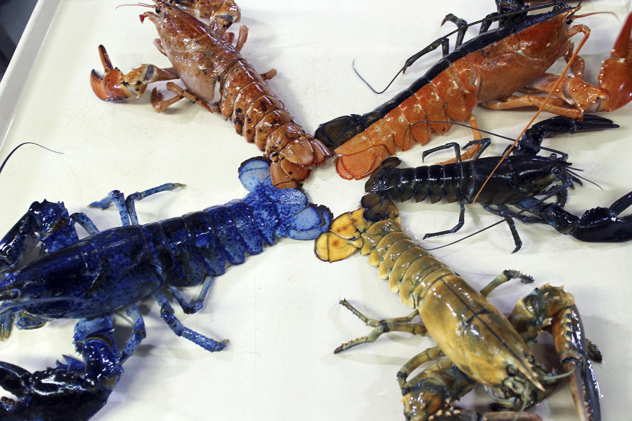 新英格蘭水族館上月展示了該館收集到的藍、黃、斑點棕色和雙色等罕見顏色龍蝦。美聯社