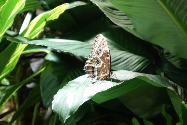 貓頭鷹蝶。(記者金春香/攝影)