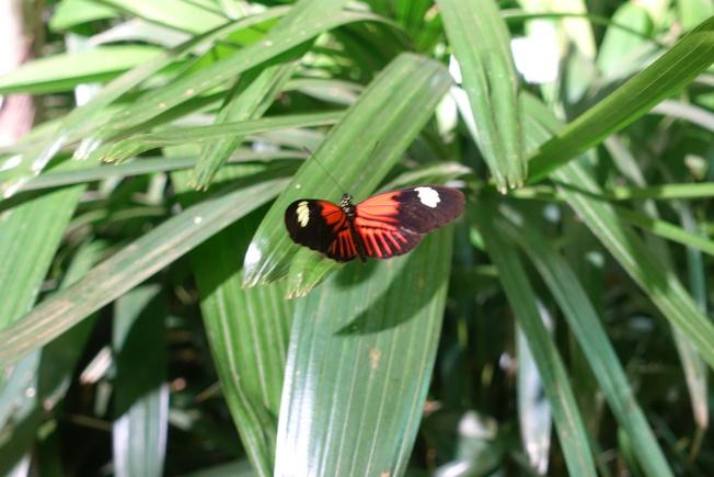 各種美麗蝴蝶在溫室中展出。(記者金春香/攝影)