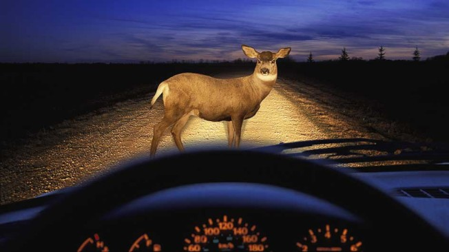 10至12月間是鹿繁衍季,很容易發生駕車撞鹿事故,民眾出行需小心。(State Farm提供)