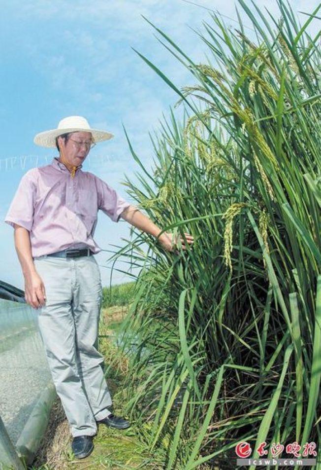 長沙種出的巨人稻高達兩公尺,培育出這個巨型稻種的夏新界站在旁邊,比稻桿還低。 圖╱ 取自長沙晚報