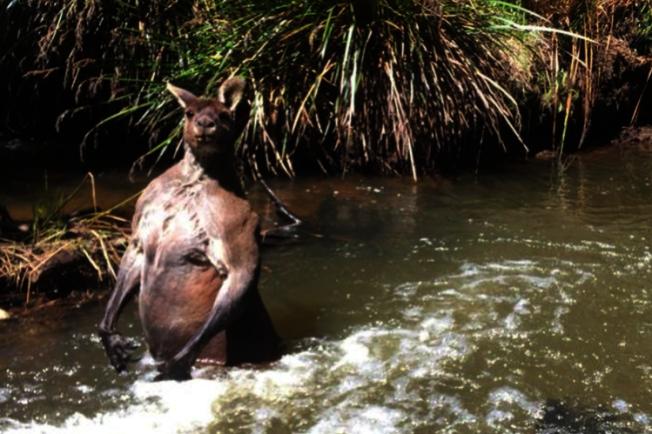 袋鼠似乎不滿被打擾,突然在水中站起來,並「秀肌肉」恐嚇威脅者。圖/擷自ABC Online