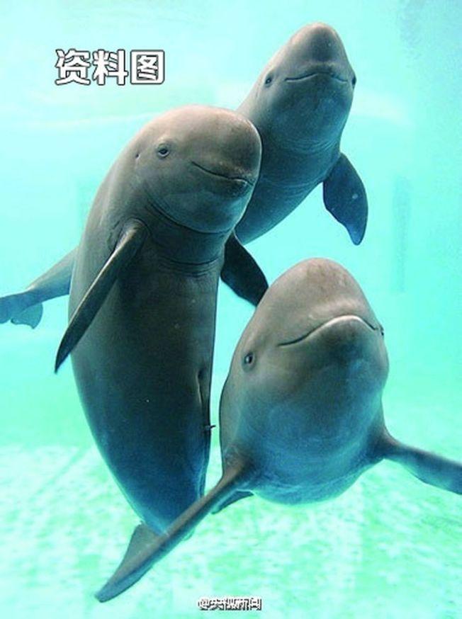 長江江豚天然一副笑臉。(取材自微博)