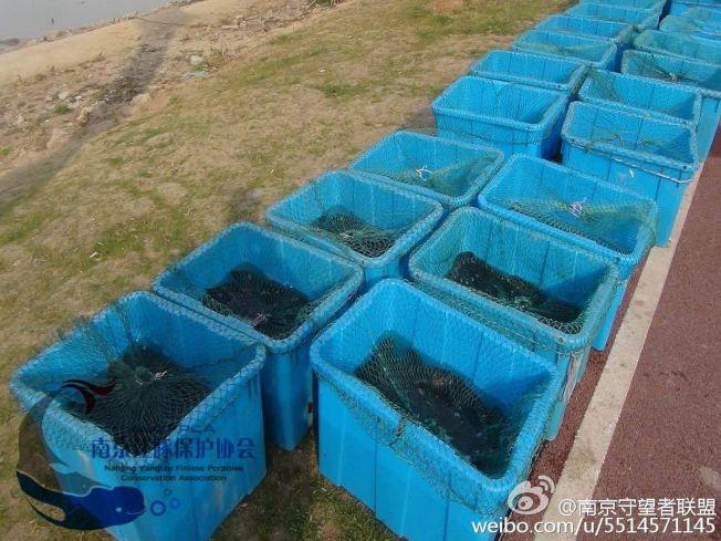武家敏觀察到市民租船放生40桶黑魚,引來成群江豚爭搶覓食。他呼籲市民不要放生黑魚。(取材自微博)