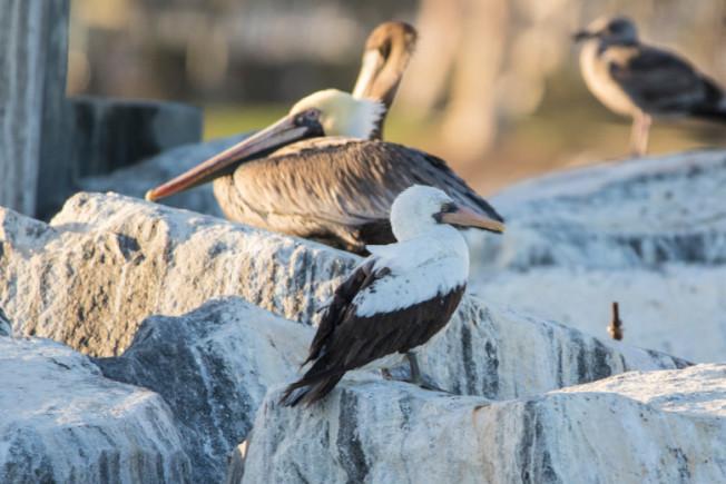 通常生長於南美洲Galapagos群島的珍稀鰹鳥(Nazca Booby)近日現身南加州橙縣丹那岬(Dana Point),吸引大批愛鳥族帶著望遠鏡與專業照相機趕來朝聖。(Mark Girardeau/ Orange County Outdoors)