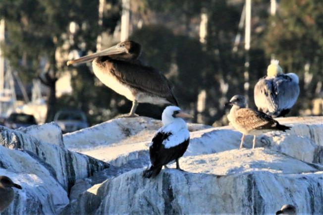 通常生長於南美洲Galapagos群島的珍稀鰹鳥(Nazca Booby)近日現身南加州橙縣丹那岬(Dana Point),吸引大批愛鳥族帶著望遠鏡與專業照相機趕來朝聖。(Robin Lowe/Dana Wharf Whale Watching)