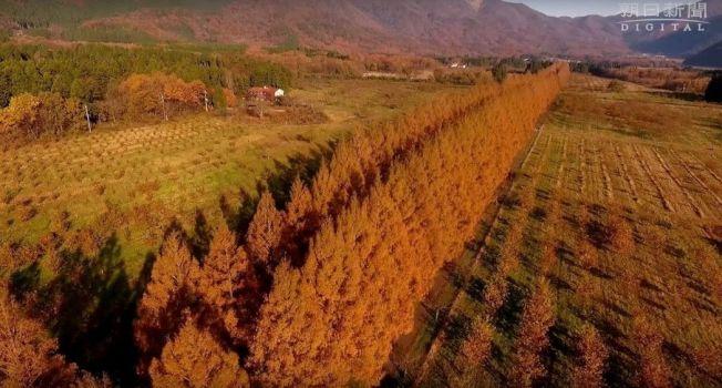 日本滋賀縣高島市牧野町的水杉美景。圖擷自YouTube